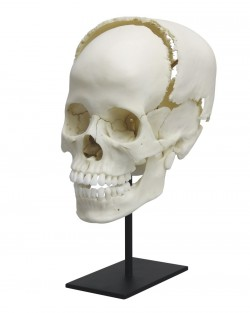 Articulated Human Medical Study Skull - zdjęcie nr: 1
